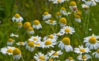 Image of flowering chamomile. Chamomile tea may help stop nausea and vomiting, as detailed in blog post by CALMERme.com