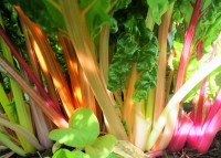 The image shows plants of rainbow chard, as described in this post on CALMERme.com