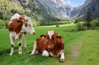 Image of cows depicting estrogen levels in cow and goat milk for CALMERme.com