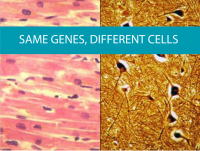 Image showing different cells with the same genes from CALMERme.com